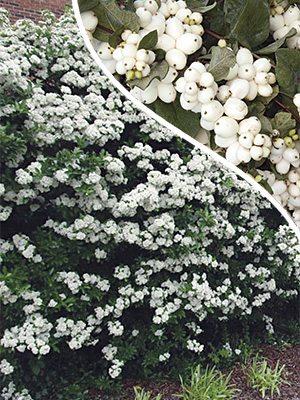 Снежноягодник White Hedre (1 шт) - 1