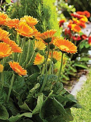 Гербера гибридная (садовая) Garvinea Sweet Caroline (1 шт) - 1