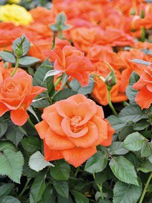 Роза горшечная Orange Star (1 шт) - 1