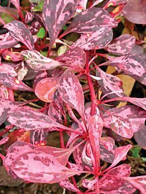 Барбарис Тунберга Rose Glow (1 шт) - 1