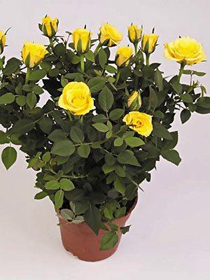 Роза горшечная Yellow Star (1 шт) - 1