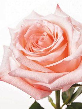 Роза чайно-гибридная Engagement (1 шт)