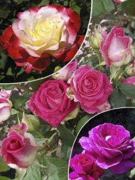 "Набор чайно-гибридных роз ""Мальта"" (3 шт)"