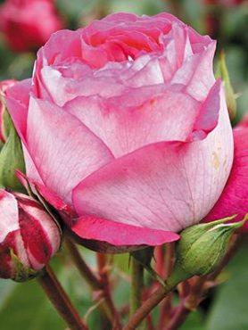 Роза чайно-гибридная Maxim (1 шт)