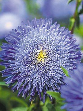 Айстра однорічна Помпонна Bolero Light Blue (0,5 г)