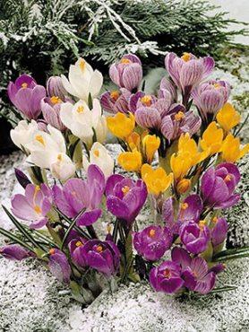 """Шафран """"Весняний настрій""""   (весняноквітуча суміш) 78 (50 шт)"""