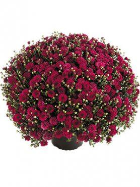 Хризантема мелкоцветковая низкорослая Harlem Purple (3 шт)