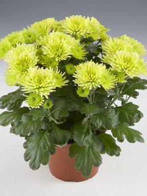 Хризантема горшечная Mount Verde (3 шт) - 1
