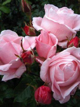 Роза чайно-гибридная Queen of England(1 шт)