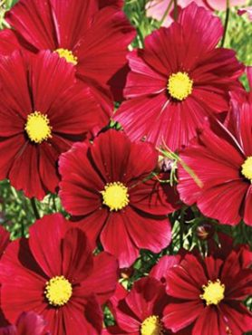 Космея дваждыперистая Rubenza, рубиново-красная (15 шт)