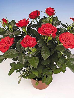Роза кімнатні Bling Chili Star (1 шт) - 1