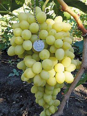 Виноград Благовест (1 шт)