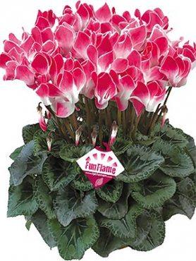 Цикламен крупноцветковый Latinia  Funflame Magenta F1     (1 шт)