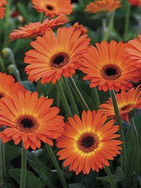 Гербера гибридная (садовая) Garvinea Sweet Sunset (1 шт)