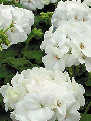 Пеларгонія зональна White (6 шт) - 1