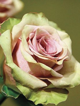 Роза чайно-гибридная Amnesia (1 шт)