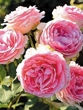 Роза чайно-гибридная First Lady (1 шт)