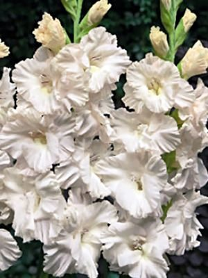 Гладиолус садовый Marsh Frizzle (5 шт) - 1