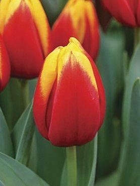 Тюльпани Тріумф Andre Citroen 12+ (20 шт)