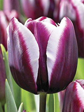 Тюльпани Тріумф Alexander's Pushkin 1112 (20 шт)