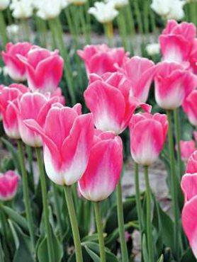 Тюльпани Тріумф Династія 1011 (3 шт)