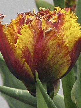 Тюльпаны Махровые бахромчатые Bastia 1112 (3 шт)
