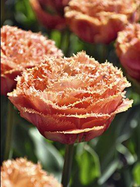 Тюльпаны Махровые Бахромчатые Sensual Touch 10/11 (3 шт)