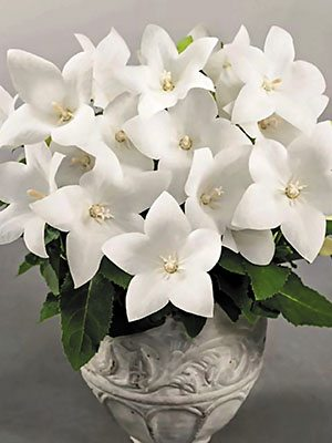 Платикодон гібридний Pop Star White (6 шт) - 1