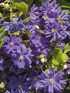 Клематис гибридный Floral Dance (1 шт)
