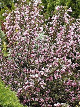 Вейгела цветущая Nana Purpurea (осень) (1 шт)