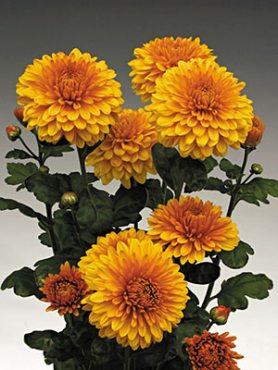 Хризантема срезочная Wendy Bronze (3 шт)