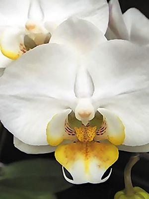 Фаленопсис гибридный Smile Tropics (1 шт) - 1