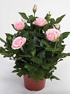 Роза горшечная Classic Stsr (1 шт)