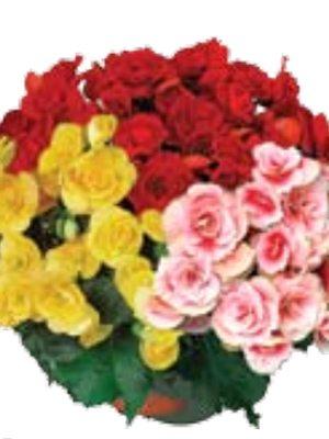 Бегонія красивоцветущая (зимова) суміш (3 шт) - 1