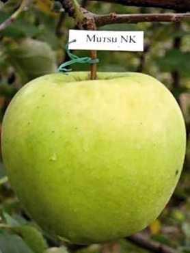 Яблоня Мутсу (1 шт)