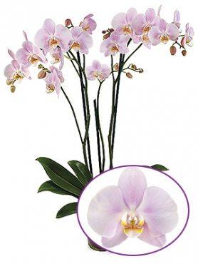 Фаленопсис гибридный Rosion (1 шт)