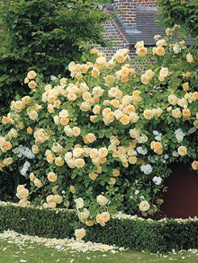 Роза шраб Claire Austin(1 шт)