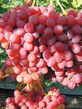 Виноград Кишмиш Красный(1 шт)