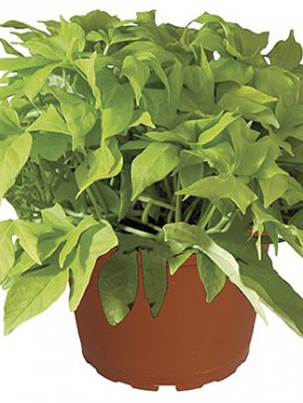 Ипомея (батат) FloraMia Lime (3 шт)