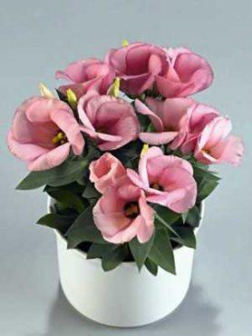 Лизиантус (эустома) Сarmen Lilac F1 пурпурно-розовый (10 шт)