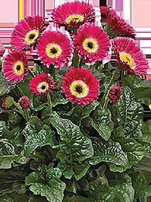 Гербера гібридна (садова) Garvinea Sweet Spice (1 шт) - 1