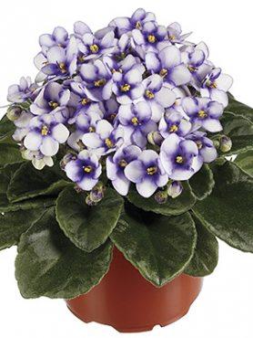 Сенполия (узамбарская фиалка) MAXI Fleur (1 шт) осень