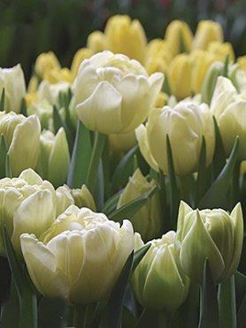 Тюльпаны Махровые ранние Avant Garde 1011 (100 шт)