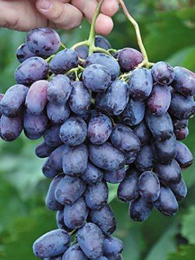 Виноград Лорано (1 шт)