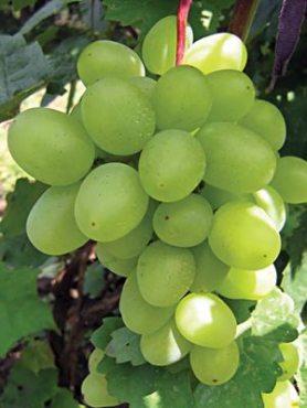 Виноград Супер-экстра (1 шт)