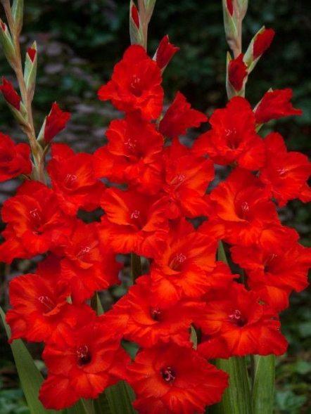 Гладиолус садовый Fosta (5 шт) - 1