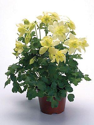 Водосбор гибридный Spring Magic Yellow (1 шт) - 1