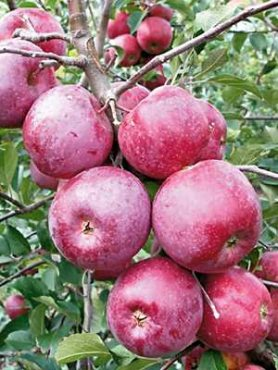 Яблоня Флорина (1 шт)