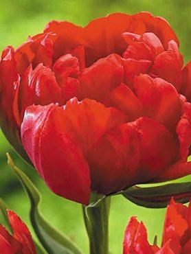 Тюльпаны Махровые ранние Abba 12+ (20 шт)