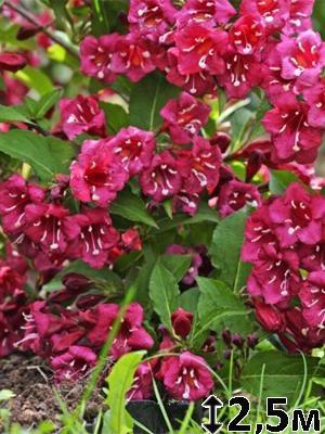 Вейгела гибридная Bristol Ruby (1 шт) - 1